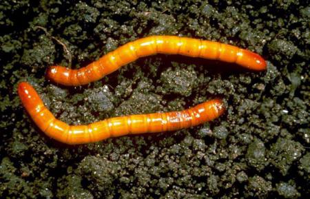 wireworm