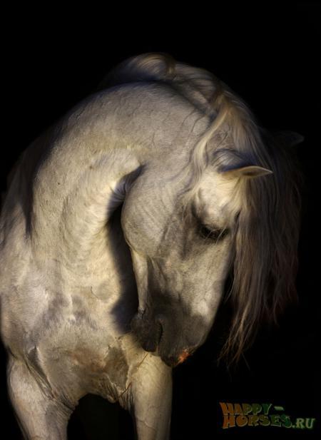 Андалузы. Андалузская порода лошадей.